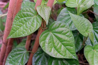 Vine - betel. A climbing plant