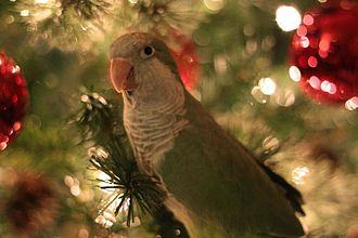 Monk parakeet - Baby monk parakeet perched in a Christmas tree
