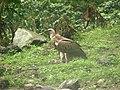 Bird Himalayan Griffon IMG 0438 04.jpg