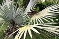 Bismarckia nobilis 28zz.jpg