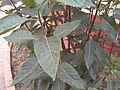 Bitter Leaf.jpg