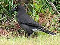 Black-winged Currawong2.JPG