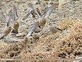 Black-winged Snowfinch (Montifringilla adamsi) (30828689147).jpg