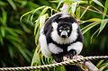 Black and white Ruffed Lemur (24427656063).jpg