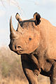 Black rhino (head and shoulder view).jpeg