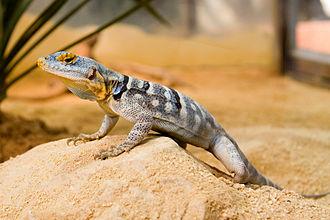 Baja blue rock lizard - Petrosaurus thalassinus