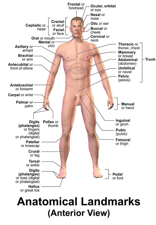 anatomical landmarks - Forte.euforic.co
