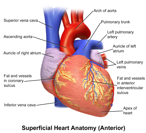 Blausen 0451 Heart Anterior