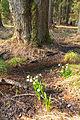 Bledule jarní v PR Králova zahrada 21.jpg