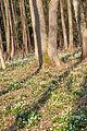 Bledule jarní v PR Králova zahrada 43.jpg