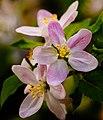 Blossoms (255923175).jpeg