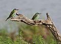 Blue-cheeked bee-eater, Merops persicus, Chobe National Park, Botswana (32364944371).jpg