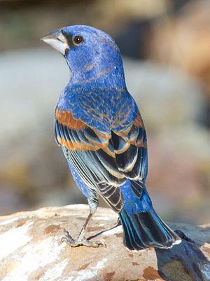 Blue grosbeak - Image: Blue Grosbeak by Dan Pancamo