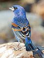 Blue Grosbeak by Dan Pancamo.jpg