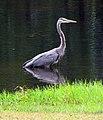 Blue Heron Cameron NC 3836 (15133673364).jpg