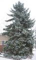 Blue Spruce Winter.png