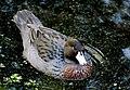 Blue duck whio. NZ (32834634136).jpg