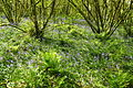 Bluebells in Draynes Wood (4038).jpg