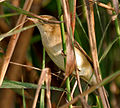Blunt-winged Warbler (Acrocephalus concinens) in AP W IMG 4076.jpg