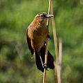 Boat-tailed Grackle-27527-3.jpg