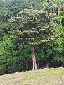 Bois de Natte a Grandes Feuilles - Labourdonnaisia glauca - Ferney Reserve 1.jpg