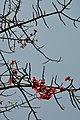 Bombax - Kolkata 2012-03-04 9227.JPG