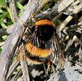 Bombus terrestris (Buff-tailed bumblebee) - queen - Flickr - S. Rae.jpg