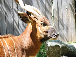 Bongo (antelope) - The side facial patination of an eastern bongo