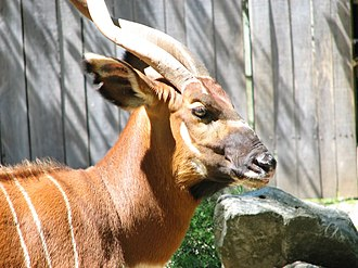 Bongo (antelope) - The side facial patination of an eastern bongo
