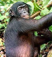 Die Primatenforschung hat viel Erstaunliches über die geistigen Fähigkeiten von Affen herausgefunden.
