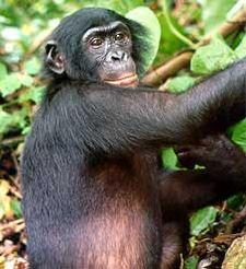 A Bonobo climbing a tree.
