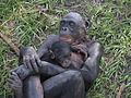 Bonobo and Young - Jacksonville zoologcal garden, Florida, USA.jpg