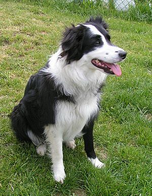 Border Collie - Image: Border Collie