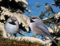 Boreal Chickadee From The Crossley ID Guide Eastern Birds.jpg