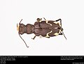Boreal Long-Lipped Tiger Beetle; Cicindela longilabris (37297472430).jpg