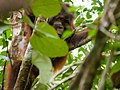 Bornean Orangutan (14204533173).jpg