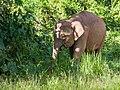 Borneo Elephant (14839426839).jpg