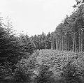 Bosaanleg en kwekerij, herbebossing, douglas, Bestanddeelnr 165-0391.jpg