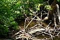 Bothell, WA - beaver on North Creek 03.jpg