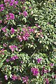 Bougainvillea spectabilis-2675.jpg