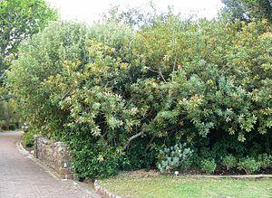 Brabejum - Image: Brabejum stellatifolium hedge