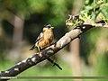 Brahminy Starling (Sturnia pagodarum) (37406250574).jpg