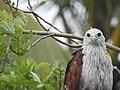 Brahminy kite (Haliastur indus)കൃഷ്ണപ്പരുന്ത് 16.jpg