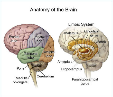 The main areas of the brain and limbic system - Brain tumor
