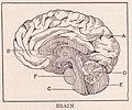 Brain page 368.jpg