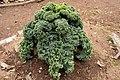 Brassica oleracea var. acephala 02.jpg