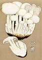 Bresadola - Clitocybe connata.png