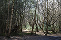 Bridleway trees at Gernon Bushes Nature Reserve, Coopersale Essex England 2.jpg