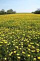 Brigsley dandelions - geograph.org.uk - 1269844.jpg