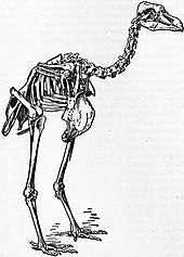 Skeleton of Rodrigues Solitaire